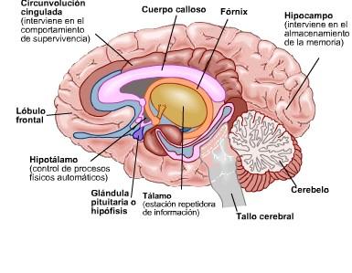 Diferencias entre cerebro de hombre y de mujer